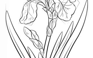 Как нарисовать цветок Ирис карандашом поэтапно