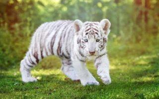 Картинки белый тигр