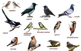 Картинки с названиями зимующих птиц