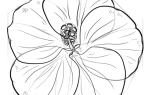 Как нарисовать Гибискус (Китайскую розу) карандашом поэтапно для начинающих