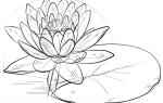 Как нарисовать водяную Лилию (Кувшинку) карандашом поэтапно
