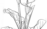 Как нарисовать Лилию Каллу карандашом для начинающих