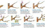 Обрезка груши осенью для начинающих в картинках