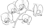 Как нарисовать орхидею карандашом красиво — поэтапная инструкция