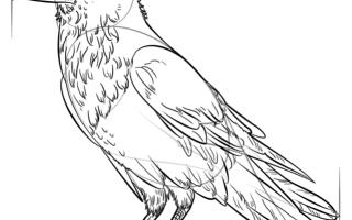 Как нарисовать Ворона карандашом пошагово