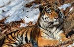 Картинки амурский тигр