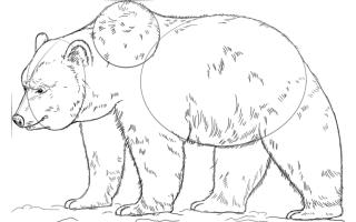 Как нарисовать медведя Гризли — пошаговая инструкция