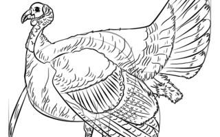 Как нарисовать Индейку (индюка женского пола) карандашом поэтапно