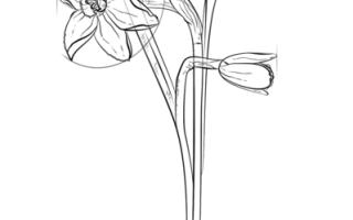 Как нарисовать цветок Нарцисс красиво карандашом — поэтапная инструкция