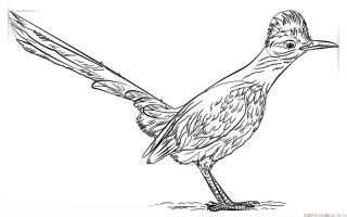 Как нарисовать земляную кукушку (Roadrunner) пошаговая инструкция
