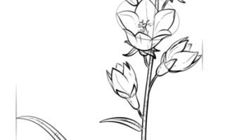 Как нарисовать цветок Колокольчик карандашом поэтапно для начинающих