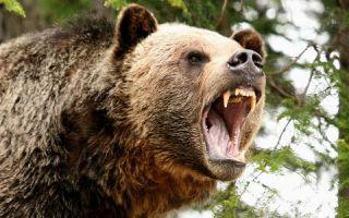 Картинки медведь гризли