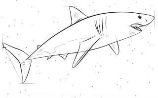 Как нарисовать большую белую акулу — пошаговая инструкция