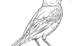 Как нарисовать птицу Малиновку карандашом пошагово