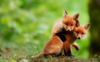 Прикольные фото лисы
