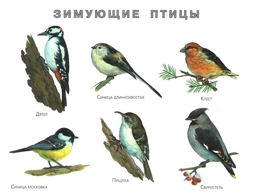разрешения автора картинки птиц зимой с названиями было