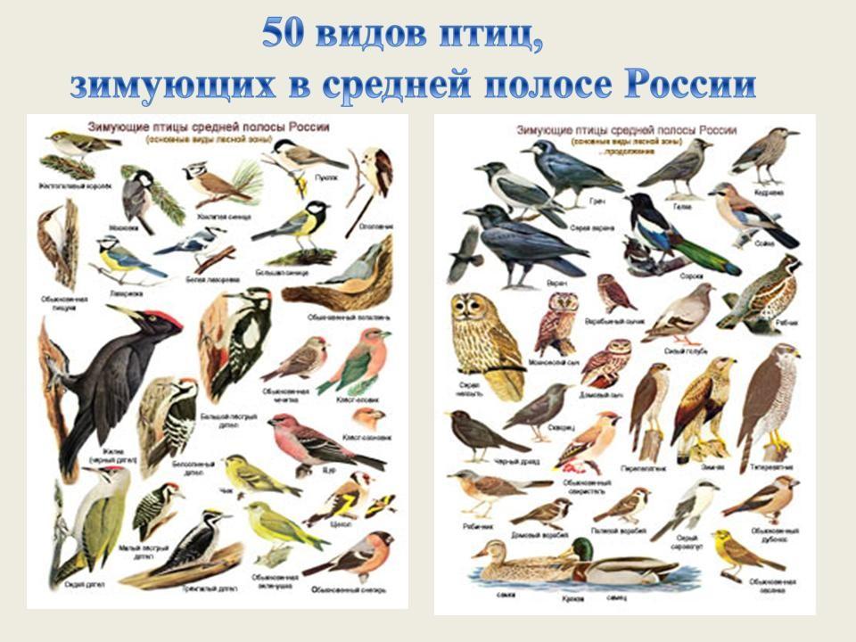 птицы зимующие в ярославской области фото с названиями нас все авто