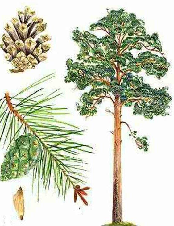 Сделать, картинки с хвойными деревьями для детей